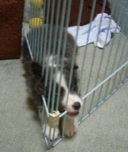 ボーダーコリー子犬の要求