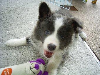 ボーダーコリー子犬