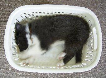 洗濯かごに入る子犬