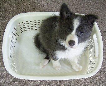 洗濯かごに入るボーダーコリー
