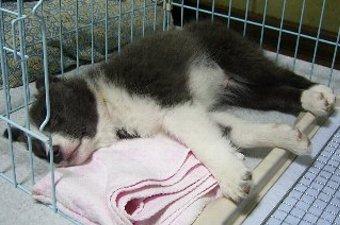 サークルで寝るボーダーコリー
