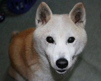 シニアの柴犬