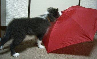 傘への社会化中の子犬