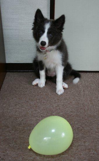子犬と風船