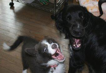子犬の大型犬の遊び