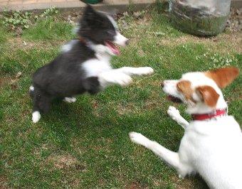 成犬に遊んでもらう子犬