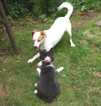 成犬と子犬の遊び