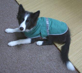レインコートを着る子犬