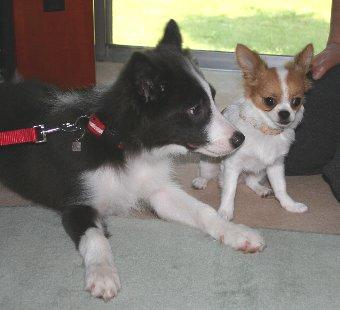 ボーダーコリーとチワワの子犬