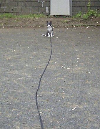 ロングリードで練習する子犬