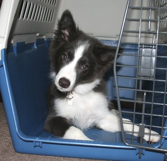 クレートに入る子犬