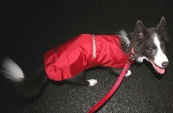 レインコートを着て散歩する犬