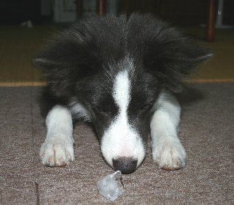 氷を楽しむ犬