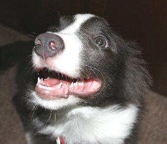耳をたたむ子犬