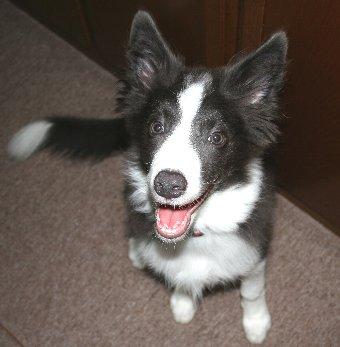 耳が大きくてアンバランスなボーダーコリーの子犬