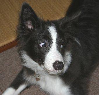 ボーダーコリーの子犬の変な顔の瞬間