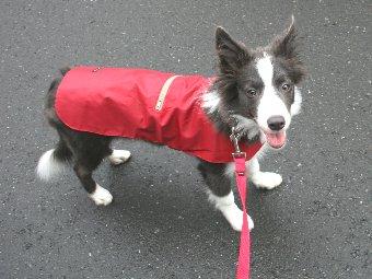 レインコートを着て散歩に行く子犬