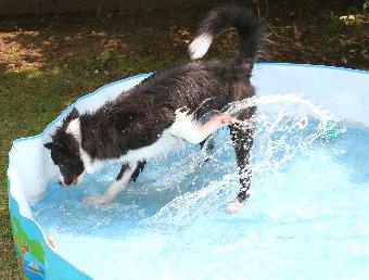 水遊びが楽しくなってきたボーダーコリーの子犬