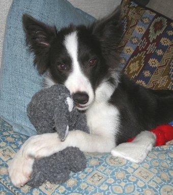 ぬいぐるみを抱きかかえるボーダーコリーの子犬