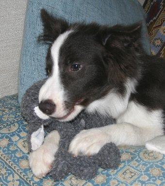おもちゃを噛む子犬
