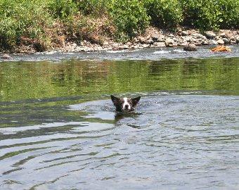 泳いで向かってくるボーダーコリー