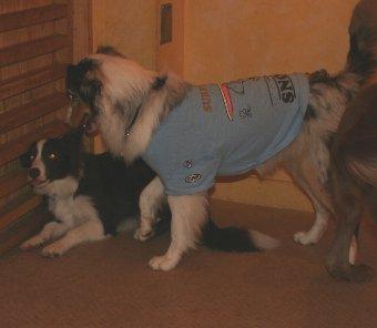 先輩犬に叱られるボーダーコリー