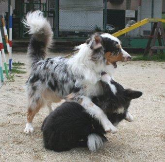 ボーダーコリーとオゥシーの遊び方