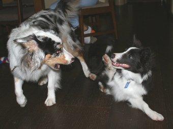 犬に遊んでもらうボーダーコリーの子犬