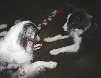おもちゃの取り合いをする犬たち