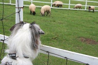 羊を見るオゥシー