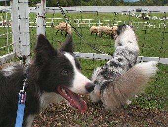 羊に興味がないボーダーコリー