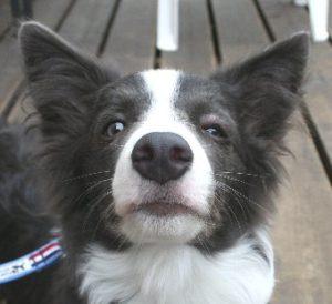 虫刺されで目が腫れる犬