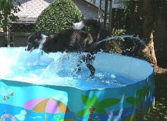 水遊びするボーダーコリー
