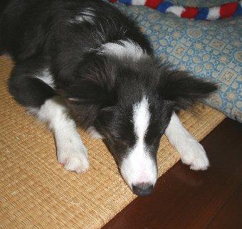 畳を噛む子犬