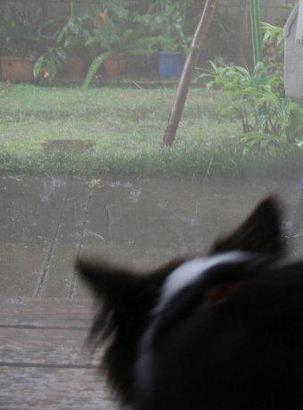 雨で外に行かれない犬