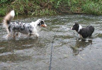 川遊びするオゥシーとボーダーコリー