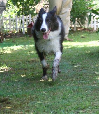 庭でドロドロになって遊ぶ犬