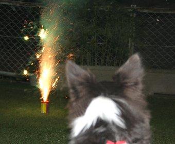 花火を見学する犬