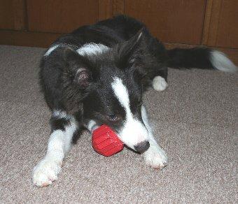 おもちゃを噛む犬