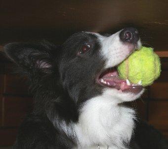 テニスボールで遊ぶ犬