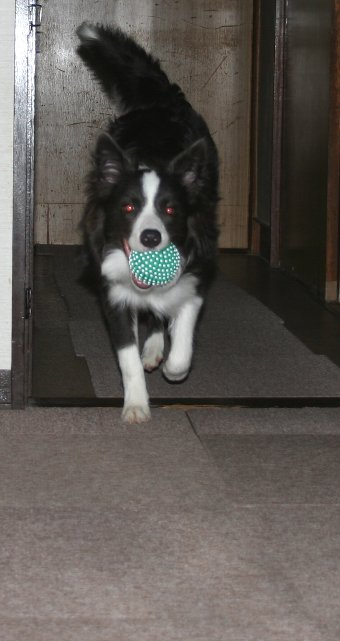 室内でボール遊びをする犬