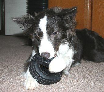 タイヤのおもちゃで遊ぶ犬