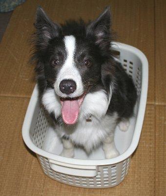洗濯かごに入る犬