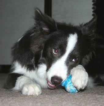 パピーコングで遊ぶ犬