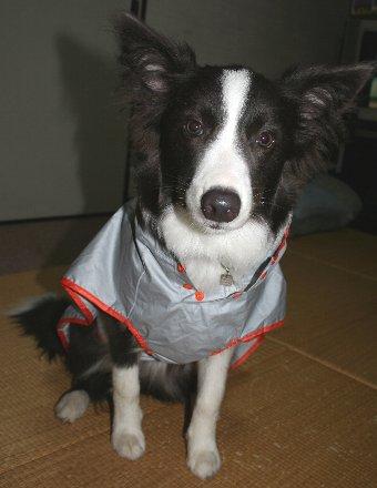 レインコートを着せられる犬