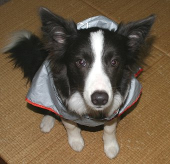 レインコートを着たくない犬