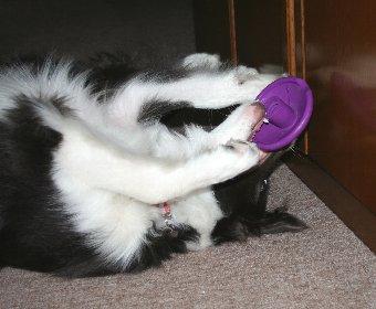 ビジーバディの片割れを楽しむ犬