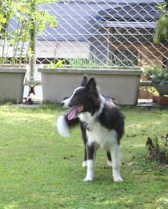 庭で遊ぶボーダーコリー