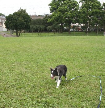 ロングリードで公園内で遊ぶ犬