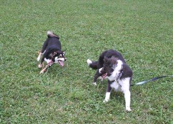 柴犬と遊ぶボーダーコリー